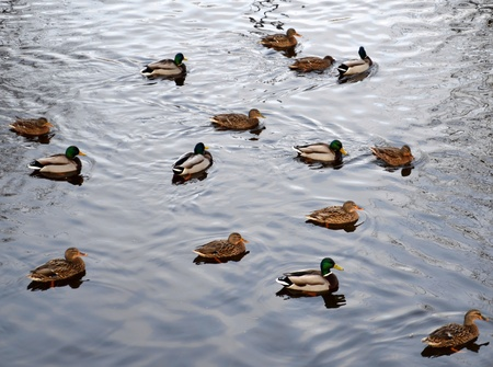 Group of Mallard ducks, male and female, swiming on water surface