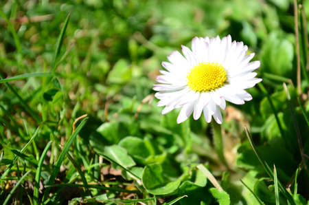 Single and young daisy flower growing up in green grass field