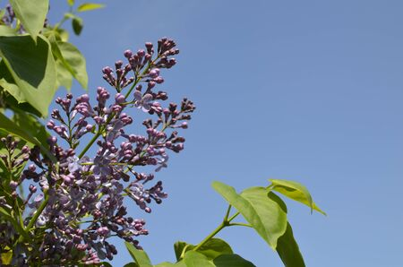 Violet Flower with Green Leaves on Blue Sky Brackground Stock Photo
