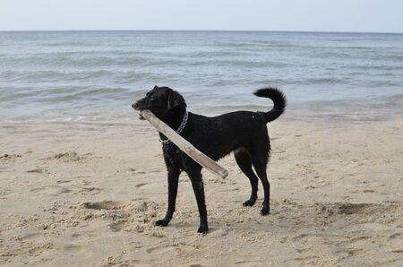 Single Black Dog on Sandy Beach Stock Photo