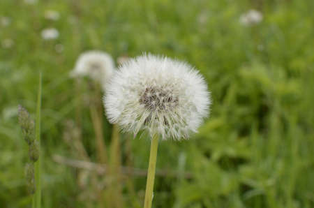 Single Dandelion on Blurred Green Meadow  Stock Photo