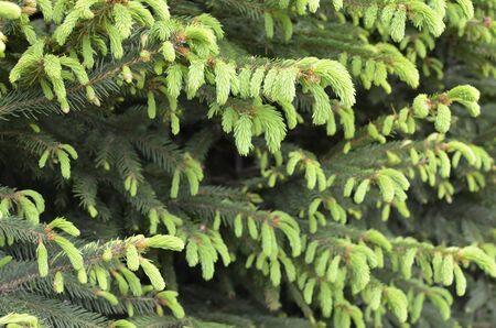 Fresh Buds on Pine Tree  Stock Photo