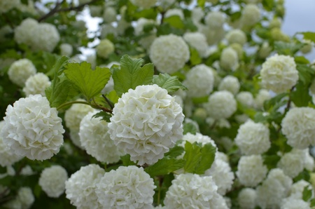 Hydrangea White Flower Groups on Bush  photo