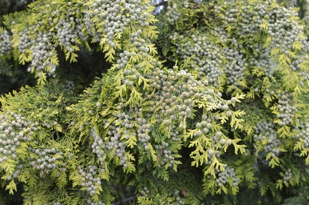 Green Cones on Thuja Branch