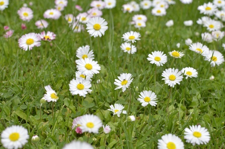 Green Meadow Full of Daisy Flowers