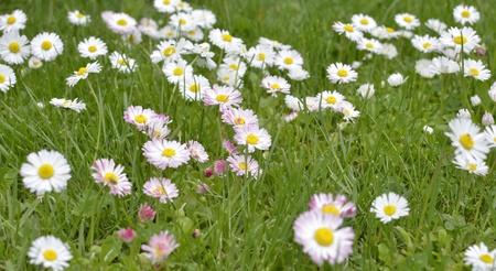 Green Meadow Full of Daisy Flowers