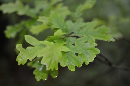 Oak Green Leaf on Blurred Forest Background