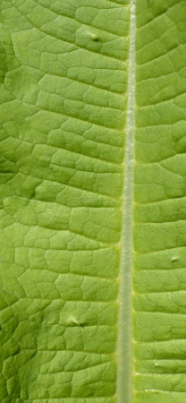 Green Leaf Macro View On Veins. Stock Photo