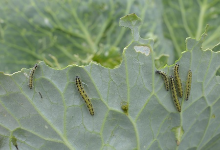 Cabbage leafs eaten by caterpillar worms Stock Photo