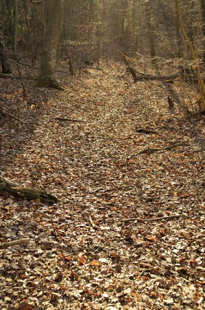 Thick leaf forest during spring with many leaves on the undergrowth. Stock Photo