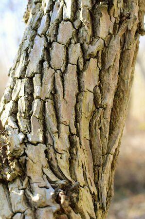 Maple tree background with many deep cracks
