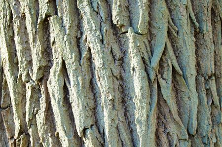 Oak tree bark background with many deep cracks