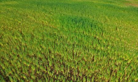 Luchtfoto op rijen van marihuana-onkruidveld