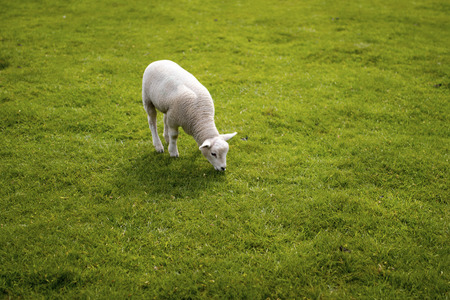 Baby lamb face. Cute animal standing meadow at Yorkshire Sculpture Park Stock Photo