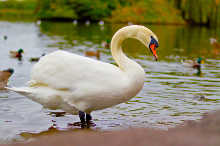 Swan in the water, pond, UK