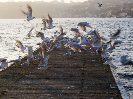 Group of seagulls at an old  pier  in bosphorus photo