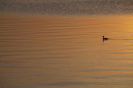 cormorant swimimg photo