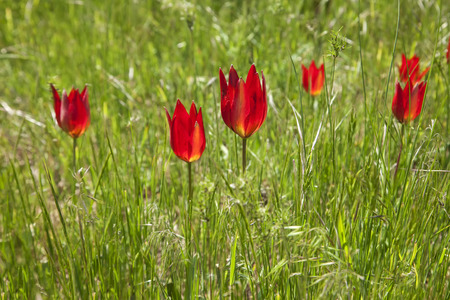 red tulip flowers in a  pasture photo