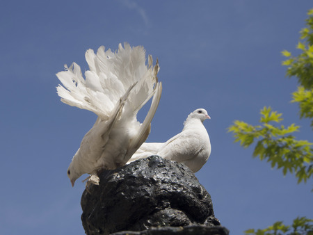 Two white pigeon on sky background photo
