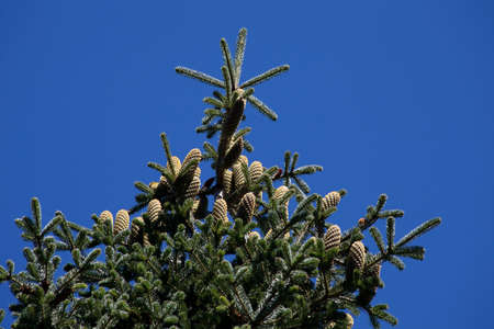 endemic: fir, pine, an endemic tree species for Christmas celebration Stock Photo