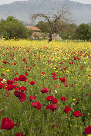 kayakoy: Red poppies,yellow flowers and the houses background Stock Photo