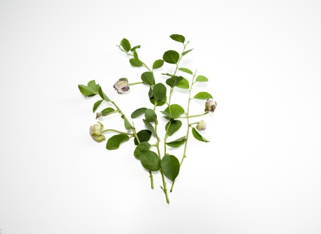 caper: Caper branch with leaves and fruits isolated on white