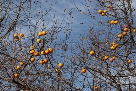 diospyros: Persimmon, Diospyros kaki, tree: brown branches and orange fruit in Turkey countryside
