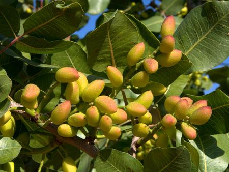 pistachio tree branch with fresh pistachio nuts