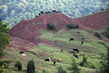 grazing cows: Mountain grassland with grazing cows Stock Photo