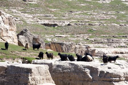 livestock in Botan valley, Siirt province,Turkey.