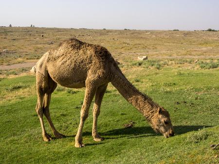 A camel seen grazing fresh green grass in  southeast Anatolia, Turkey