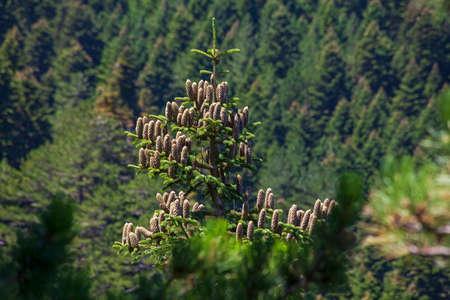 Ida Mountain-Kaz Daglari in Turkey. (in Turkish: Kazdagi, meaning Goose Mountain), Turkey. Fir, pine, an endemic tree species for Christmas celebration in Ida mountain ... Ida Mountain has endemic plants and trees.