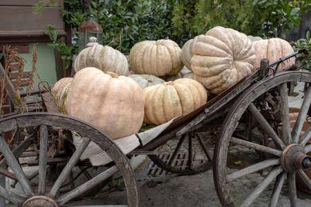 Giant white pumpkins, freshly picked from the pumpkin field, on sale in a market, Turkey Stok Fotoğraf