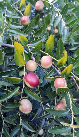Green jujube fruit on the jujube tree in the garden, Ida Mountain, Edremit, TURKEY