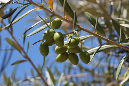 Mediterranean fruit. Olives on the tree. The fruitful olive tree.
