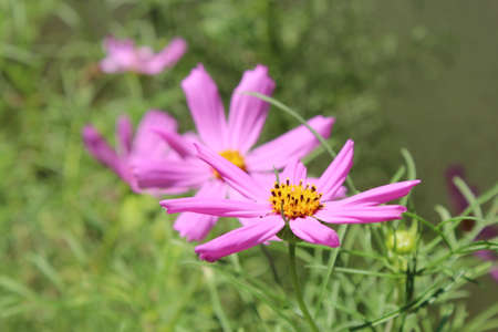 Pink daisy. Lawns in the background daisies. 写真素材