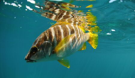 schoolmaster: Master snapper fish swimming in ocean off of the coast of Florida in the Atlantic Ocean