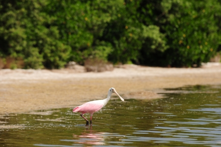 roseate: Roseate spoonbill in water near beach
