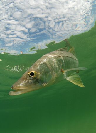 Snook fish swimming in the Atlantic Ocean off the coast of Florida photo