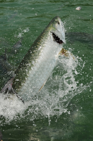 A beautiful tarpon fish jumping out of water in the Atlantic Ocean