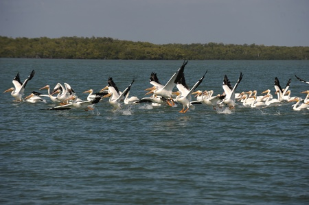 gulf of mexico: White pelicans taking flight over Gulf of Mexico Stock Photo