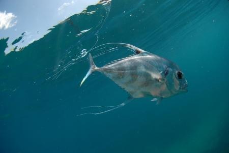 Beautiful African Pompano fish swimming in ocean