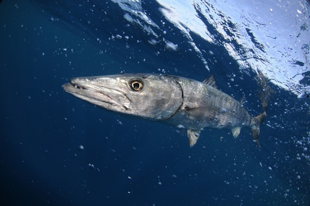barracuda: Barracuda fish swimming in blue ocean water Stock Photo