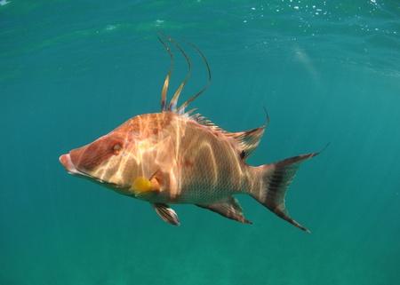 Hogfish swimming underwater off the coast of the Atlantic Ocean Stock Photo