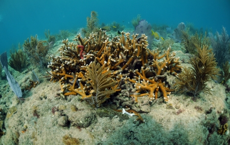 sea fans: A seascape of staghorn coral, sea fans and tropical fish