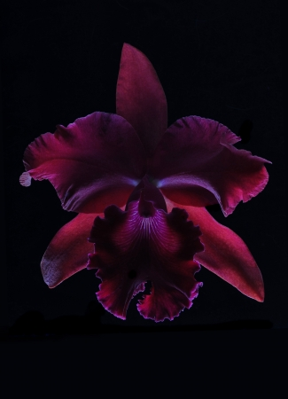 A beautiful and colorful orchid flower isolated on a black background