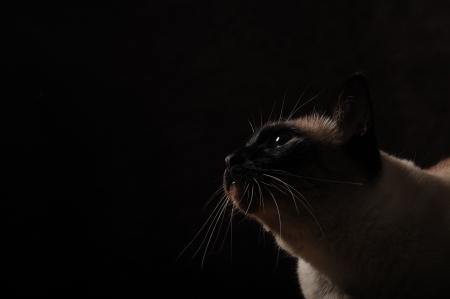 Siamese cat isolated on black background Stock Photo - 13798836