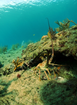 lobsters: Spiny lobster in natural habitat in ocean with gorgonians in background Stock Photo