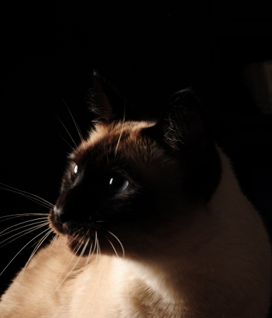 blue siamese cat: Siamese cat with blue eyes on black background