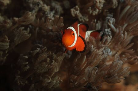 pez payaso: Clownfish nataci�n Foto de archivo